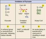 Biology, The Cell, Cellular Respiration, Oxidation of Pyruvate and the Citric Acid Cycle