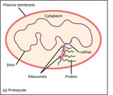 Biology, Genetics, Gene Expression, Regulation of Gene Expression