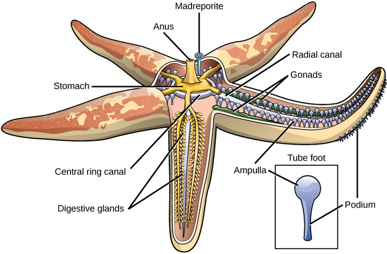 Superphylum Deuterostomia