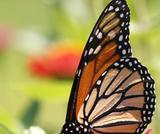 Journey North: Monarch Butterflies Citizen Science