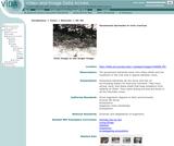 Gooseneck barnacles in rock crevices