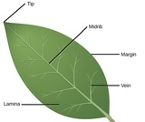 Biology, Plant Structure and Function, Plant Form and Physiology, Leaves