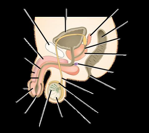 Human Reproductive Anatomy and Gametogenesis