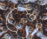 Proportional Reasoning and the Bee Waggle Dance