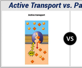 Membrane Transport in Animal Cells