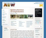 Agelaius phoeniceus: Information