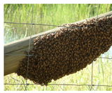 4. Hive Alive! Sweet Virginia Foundation: Swarm Lesson