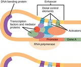 Biology, Genetics, Gene Expression, Eukaryotic Transcription Gene Regulation