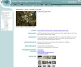 California juniper tree