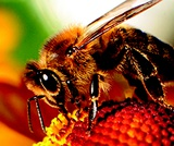 Honey Bees: A Pollination Simulation Lesson by Agriculture in the Classroom