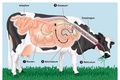 Ruminant vs. Monogastric Digestive Systems