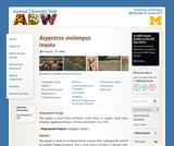 Aepyceros melampus: Information