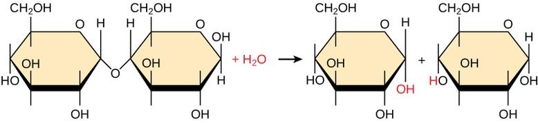 Synthesis of Biological Macromolecules