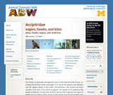 Accipitridae: Information