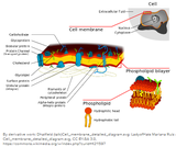 Cellular Structure (Plasma Membrane) and Function