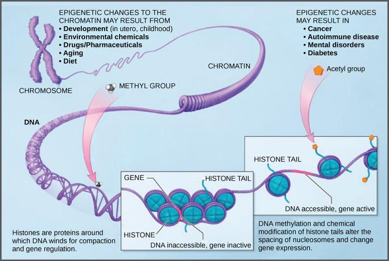 Eukaryotic Epigenetic Gene Regulation