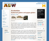 Acrobatidae: Information