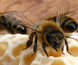 Mind Your Own Beeswax Lesson by Agriculture in the Classroom