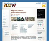 Aegolius acadicus: Information