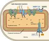 Biology, The Cell, Photosynthesis, Using Light Energy to Make Organic Molecules