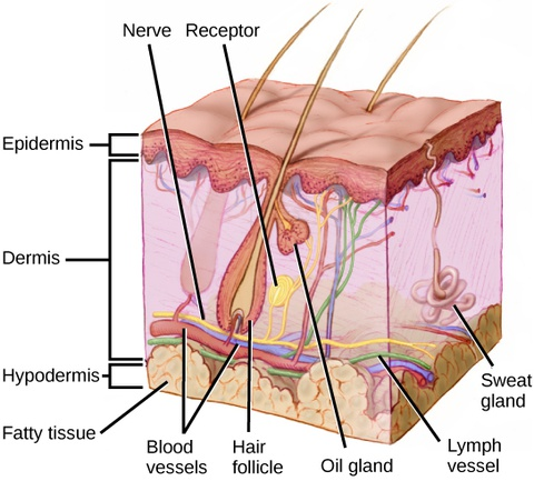 Sensory neuron diagram epidermis layers wiring diagram biology animal structure and function sensory systems rh oercommons org association neuron diagram sensory neuron diagram and structures ccuart Choice Image