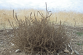 Grade 2 - Elementary Science and Integrated Subjects: Tumbling Tumbleweeds