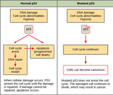 Biology, The Cell, Cell Reproduction, Cancer and the Cell Cycle