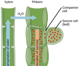 Biology, Plant Structure and Function, Plant Form and Physiology, Transport of Water and Solutes in Plants