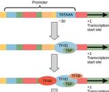 Biology, Genetics, Genes and Proteins, Eukaryotic Transcription