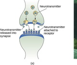 Psychology, Biopsychology, Cells of the Nervous System
