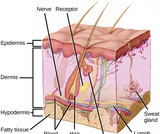 Biology, Animal Structure and Function, Sensory Systems, Somatosensation