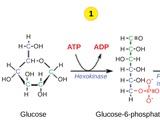 Biology, The Cell, Cellular Respiration, Glycolysis