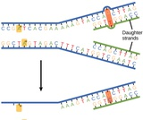 Biology, Genetics, DNA Structure and Function, DNA Repair