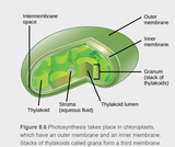 8.2 Photosynthesis