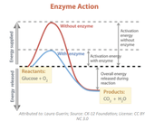 Enzymatic Proteins - How They Regulate Life