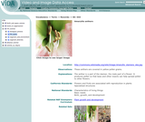 Amaryllis anthers