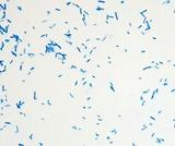 Micrograph Escherichia coli methylene blue 1000X