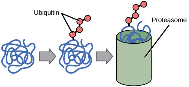 Eukaryotic Translational and Post-translational Gene Regulation