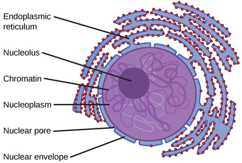 Biology the cell cell structure eukaryotic cells oer commons eukaryotic cells ccuart Images