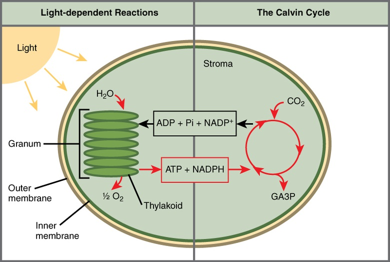 Biology The Cell Photosynthesis Overview Of Photosynthesis Oer