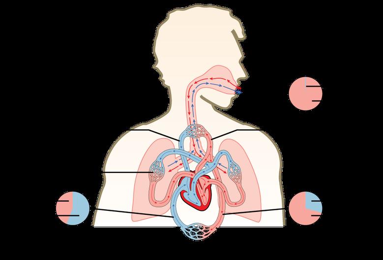 Gas Exchange across Respiratory Surfaces