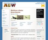 Basiliscus vittatus: Information