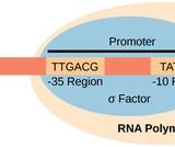 Biology, Genetics, Genes and Proteins, Prokaryotic Transcription