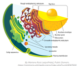 Plasma Membrane-bound Organelles in Material Transportation