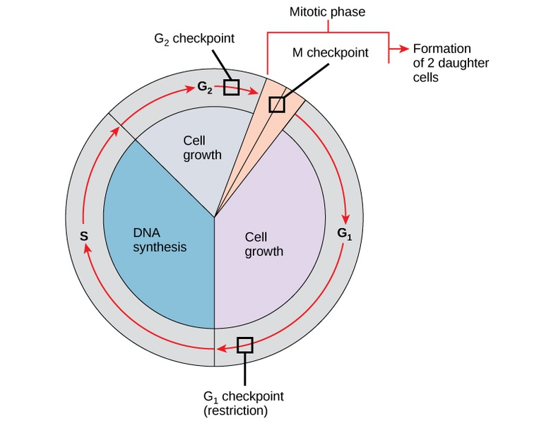 Prokaryotic Cell Division