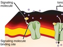 Signaling Molecules and Cellular Receptors