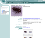 Adult darkling beetle