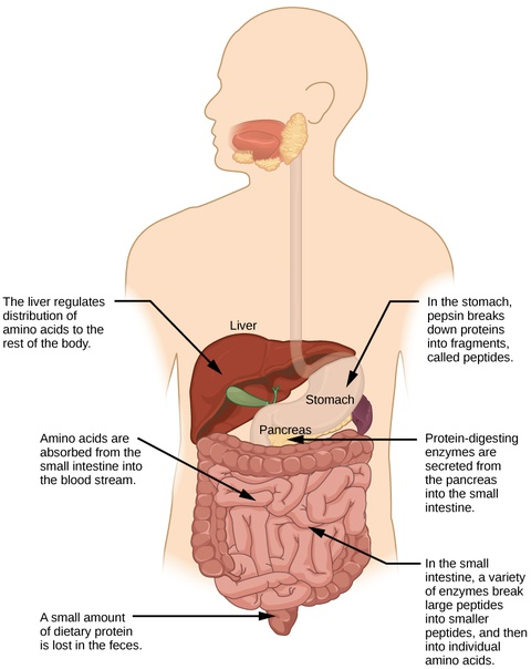 Digestive System Processes