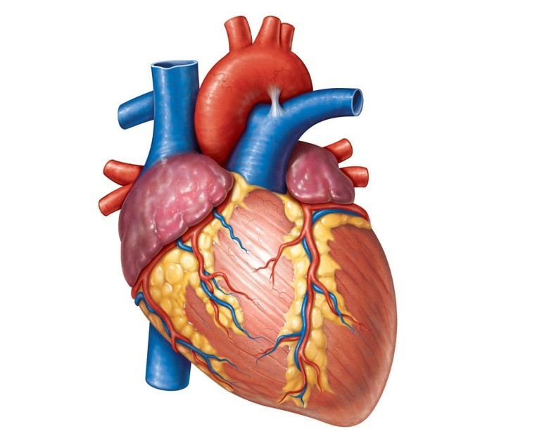 Human Heart - Circulatory System | OER Commons