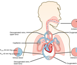 Biology, Animal Structure and Function, The Respiratory System, Gas Exchange across Respiratory Surfaces